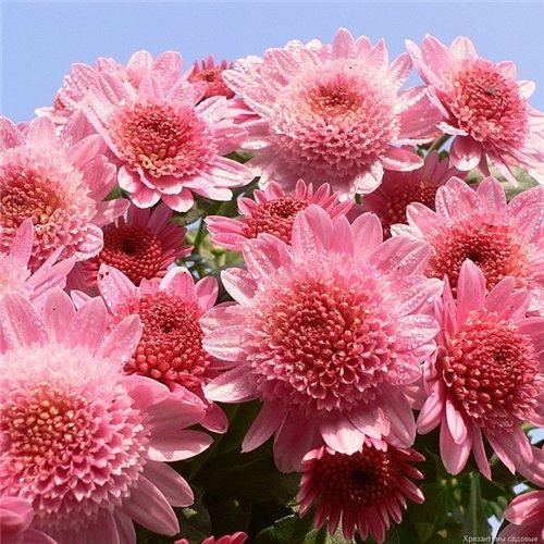 Новинки садовые цветы
