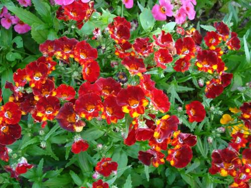 Цветы садовые клумбы