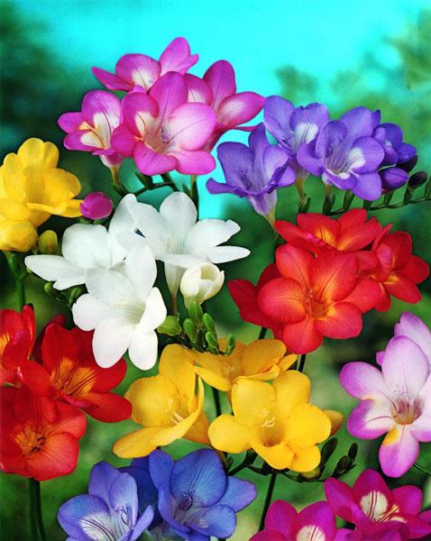 03 03 2012 садовые цветы названия nat53 1052 3 8