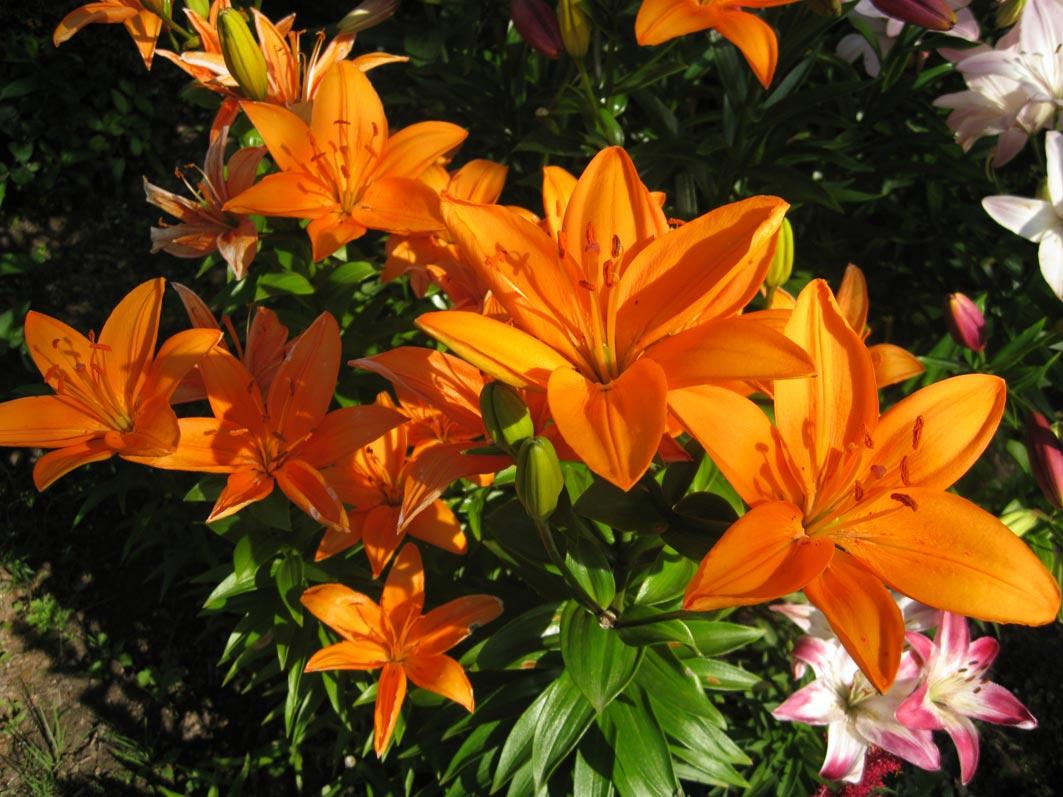 Садовые цветы каталог